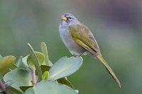 Pale-throated Serra-Finch - Embernagra longicauda