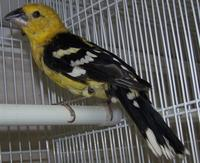 * Golden Bellied Grosbeak
