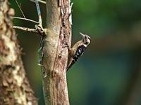 Name:	Gray-headed Pygmy Woodpecker