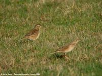 Pipits de Richard (Anthus richardi)