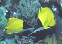 : Forcipiger longirostris; Long-nosed Butterfly Fish
