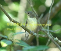 흰눈썹황금새Yellow-rumped Flycatcher