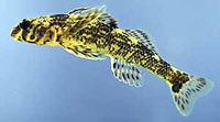 Etheostoma histrio, Harlequin darter: