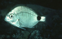 Diplodus capensis, Cape white seabream: fisheries, gamefish, bait