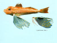 Lepidotrigla argus, Long-finned gurnard: