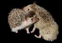 Image of: Atelerix albiventris (four-toed hedgehog)