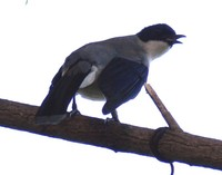 Heterophasia desgodinsi - Black-Headed Sibia