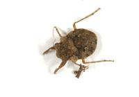 Image of: Gelastocoris oculatus (toad bug)
