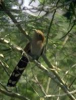 Image of: Piaya cayana (squirrel cuckoo)