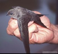 African Palm-Swift - Cypsiurus parvus