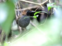 Black-faced Antthrush - Formicarius analis