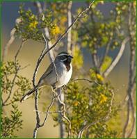 Black-throated Sparrow in Organ Pipe NM