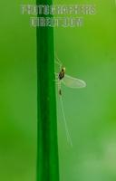 Small Translucent Minnow Mayfly of the family Baetidae ( 07 5695 ) stock photo