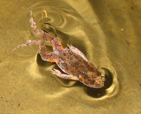 : Uperoleia laevigata; Smooth Toadlet