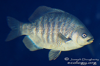 : Embiotoca jacksoni; Black Perch