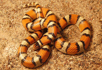 : Lampropeltis triangulum gentilis; Plains Milk Snake