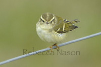 Yellow-browed warbler Photograph by Rebecca Nason