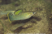 Poecilia mexicana, Shortfin molly: aquarium, bait
