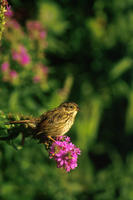 Image of: Melospiza georgiana (swamp sparrow)