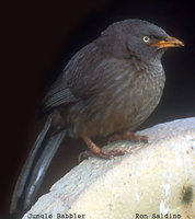 Jungle Babbler - Turdoides striata