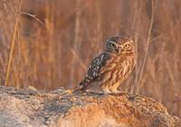 Little Owl (Athene noctua) photo