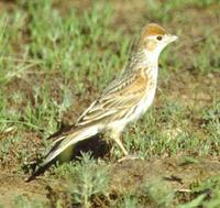 White-winged Lark