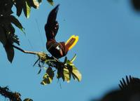 Montezuma Oropendola take-off