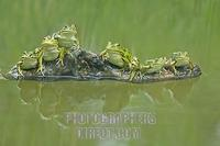 Edible frogs ( Rana esculenta ) sitting on a branch stock photo