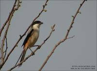 Long-Tailed Shrike Lanius schach 긴꼬리때까치