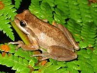 : Litoria ewingii; Whistling Tree Frog