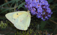 : Colias eurytheme; Orange Sulphur