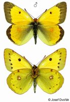 Colias chrysotheme - Lesser Clouded Yellow