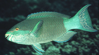 Scarus frenatus, Bridled parrotfish: fisheries, aquarium