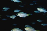 Chromis xanthopterygia, Yellowfin chromis: