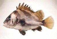 Hapalogenys nigripinnis, Short barbeled grunter: fisheries