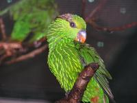 Charmosyna multistriata - Striated Lorikeet