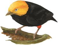 Image of: Pipra erythrocephala (golden-headed manakin)