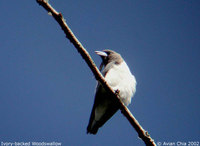 Ivory-backed Woodswallow - Artamus monachus