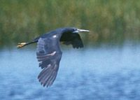Western Reef-Heron (Egretta gularis) photo