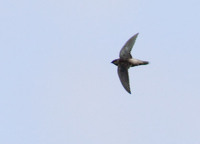 Gray-rumped Swift (Chaetura cinereiventris) photo