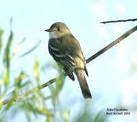Alder Flycatcher - Empidonax alnorum