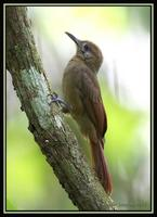 Plain-brown Woodcreeper 2
