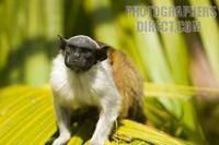 Photo of a Pied Tamarin , Saguinus Bicolor stock photo