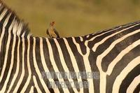Red Billed Oxpecker on a zebra stock photo