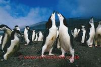 ...FT0132-00: Pair of Chinstrap Penguins display at the nest on Saunders Is. S. Sandwich Islands. S