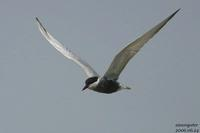 구레나룻제비갈매기(Sterna hybrida)  (Whiskered Tern)