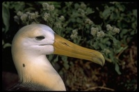 : Diomedea irrorata; Waved Albatross