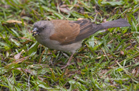 : Passer griseus; Grey-headed Sparrow