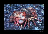 : Arctides regalis; Red-band Slipper Lobster
