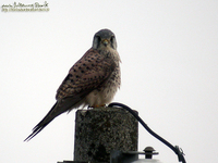 황조롱이 Common Kestrel;